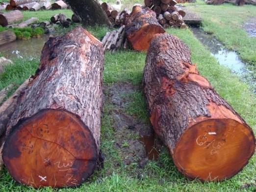 mahogany log